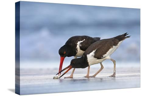 Young American Oystercatcher (Haematopus Palliatus) Snatching Food from Adult on the Shoreline-Mateusz Piesiak-Stretched Canvas Print