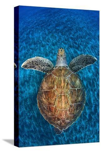 Green Turtle, (Chelonia Mydas), Swimming over Volcanic Sandy Bottom, Armenime Cove, Canary Islands-Jordi Chias-Stretched Canvas Print