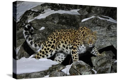 Wild Amur Leopard (Panthera Pardus Orientalis) on Rocky Hillside, Kedrovaya Pad Reserve, Russia-Vladimir Medvedev-Stretched Canvas Print