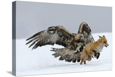 Golden Eagle (Aquila Chrysaetos) Adult Defending Carcass from Red Fox (Vulpes Vulpes), Bulgaria-Stefan Huwiler-Stretched Canvas Print