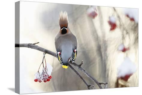 Waxwing (Bombycilla Garrulus) Perched on Snow Covered Rowan Branch (Sorbus Sp), Kuusamo, Finland-Markus Varesvuo-Stretched Canvas Print