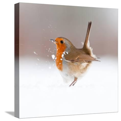Robin (Erithacus Rubecula) Displaying in Snow, Nr Bradworthy, Devon, UK-Ross Hoddinott-Stretched Canvas Print
