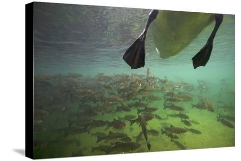 Chub Fish (Leuciscus Cephalus) and Mute Swan (Cygnus Color) Swimming Over, Rhine River, Switzerland-Michel Roggo-Stretched Canvas Print
