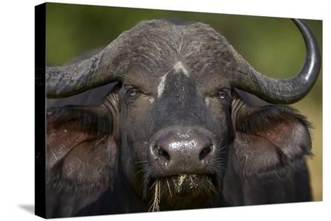 Cape Buffalo (African Buffalo) (Syncerus Caffer), Kruger National Park, South Africa, Africa-James-Stretched Canvas Print