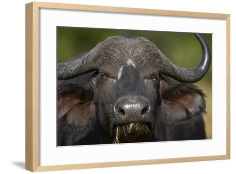 Cape Buffalo (African Buffalo) (Syncerus Caffer), Kruger National Park, South Africa, Africa-James-Framed Art Print