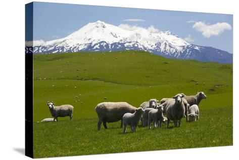 Sheep Grazing Beneath Mount Ruapehu-Stuart-Stretched Canvas Print