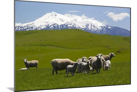 Sheep Grazing Beneath Mount Ruapehu-Stuart-Mounted Photographic Print