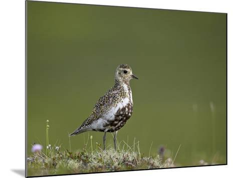 European Golden Plover (Pluvialis Apricaria), Lake Myvatn, Iceland, Polar Regions-James Hager-Mounted Photographic Print