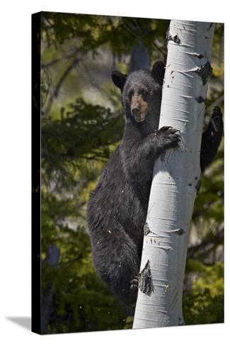 Black Bear (Ursus Americanus) Sow Climbing a Tree-James-Stretched Canvas Print
