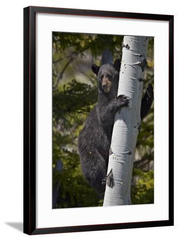 Black Bear (Ursus Americanus) Sow Climbing a Tree-James-Framed Art Print