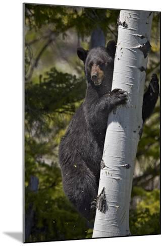 Black Bear (Ursus Americanus) Sow Climbing a Tree-James-Mounted Photographic Print