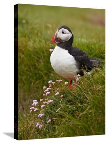 Atlantic Puffin (Fratercula Arctica), Iceland, Polar Regions-James Hager-Stretched Canvas Print