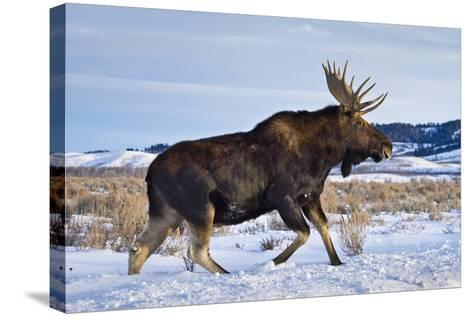 A Bull Moose Walks in a Snow-Covered Antelope Flats in Grand Teton National Park, Wyoming-Mike Cavaroc-Stretched Canvas Print