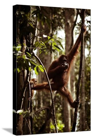 Orangutans in the Semenggoh Nature Reserve on the Island of Borneo in Malaysia-D. Scott Clark-Stretched Canvas Print