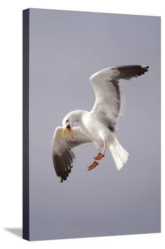 USA, California, La Jolla. a Seagull Flying over the Pacific Coast-Jaynes Gallery-Stretched Canvas Print