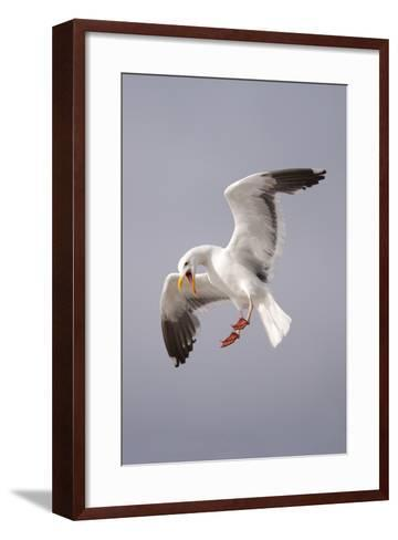 USA, California, La Jolla. a Seagull Flying over the Pacific Coast-Jaynes Gallery-Framed Art Print