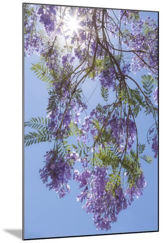 Mexico, San Miguel De Allende. Sunburst Through Jacaranda Tree-Jaynes Gallery-Mounted Photographic Print