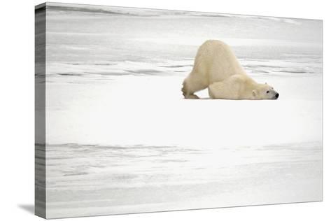 Canada, Manitoba, Churchill. Polar Bear on Frozen Tundra-Jaynes Gallery-Stretched Canvas Print