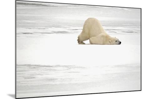 Canada, Manitoba, Churchill. Polar Bear on Frozen Tundra-Jaynes Gallery-Mounted Photographic Print