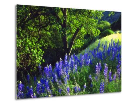 USA, California, Sierra Nevada. Lupine Wildflowers in the Forest-Jaynes Gallery-Metal Print