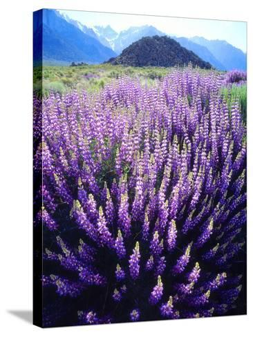 USA, California, Sierra Nevada. Bush Lupine Flowers Below Mt Whitney-Jaynes Gallery-Stretched Canvas Print