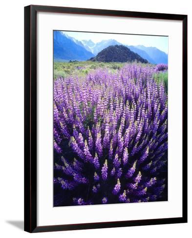 USA, California, Sierra Nevada. Bush Lupine Flowers Below Mt Whitney-Jaynes Gallery-Framed Art Print