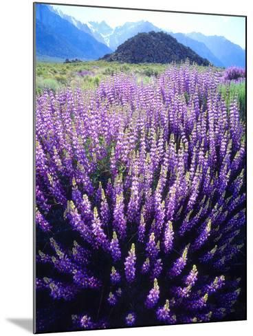 USA, California, Sierra Nevada. Bush Lupine Flowers Below Mt Whitney-Jaynes Gallery-Mounted Photographic Print