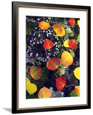 USA, Colorado, Aspen Leaves in the Rocky Mountains-Jaynes Gallery-Framed Art Print
