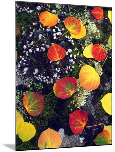 USA, Colorado, Aspen Leaves in the Rocky Mountains-Jaynes Gallery-Mounted Photographic Print
