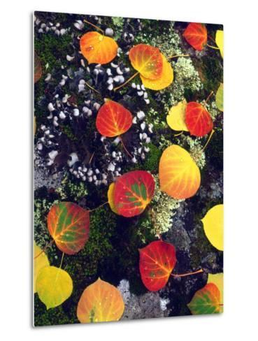 USA, Colorado, Aspen Leaves in the Rocky Mountains-Jaynes Gallery-Metal Print