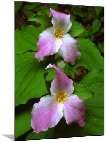USA, Tennessee, Great Smoky Mountains Trillium Wildflowers-Jaynes Gallery-Mounted Photographic Print