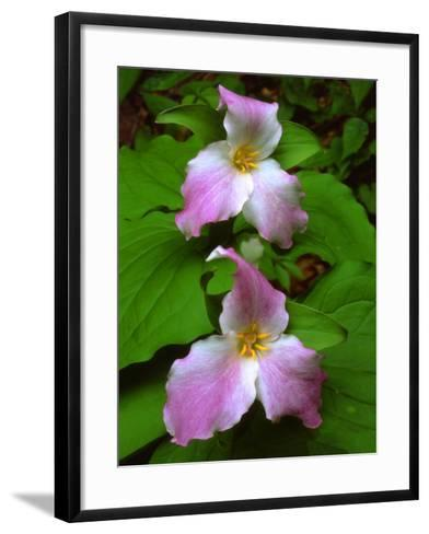 USA, Tennessee, Great Smoky Mountains Trillium Wildflowers-Jaynes Gallery-Framed Art Print