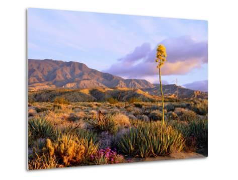 USA, California, Anza-Borrego Desert State Park. Agave Wildflowers-Jaynes Gallery-Metal Print