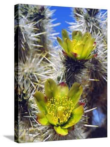 USA, California, Joshua Tree Silver Cholla Cactus Wildflowers-Jaynes Gallery-Stretched Canvas Print