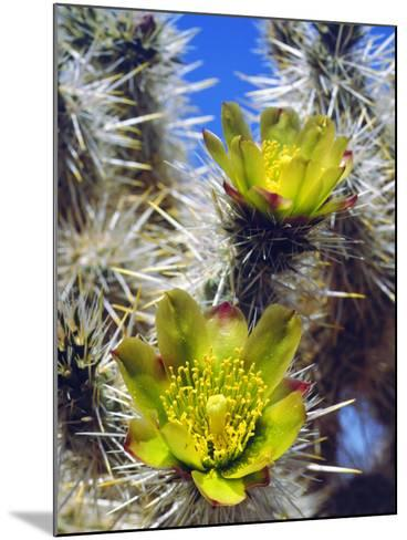 USA, California, Joshua Tree Silver Cholla Cactus Wildflowers-Jaynes Gallery-Mounted Photographic Print