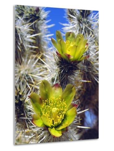 USA, California, Joshua Tree Silver Cholla Cactus Wildflowers-Jaynes Gallery-Metal Print