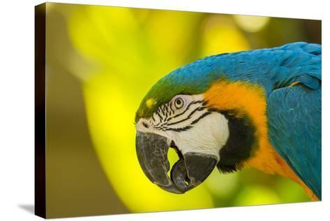 USA, California, Santa Barbara. Profile of Macaw at Santa Barbara Zoo-Jaynes Gallery-Stretched Canvas Print