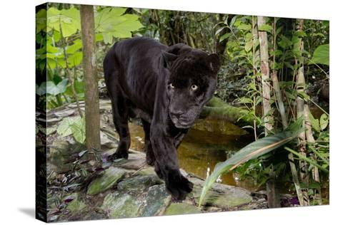 Belize, Belize City, Belize City Zoo. Black Panther (Captive)-Cindy Miller Hopkins-Stretched Canvas Print