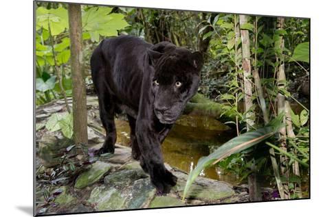 Belize, Belize City, Belize City Zoo. Black Panther (Captive)-Cindy Miller Hopkins-Mounted Photographic Print