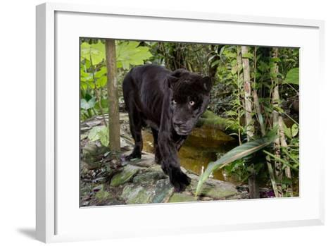 Belize, Belize City, Belize City Zoo. Black Panther (Captive)-Cindy Miller Hopkins-Framed Art Print