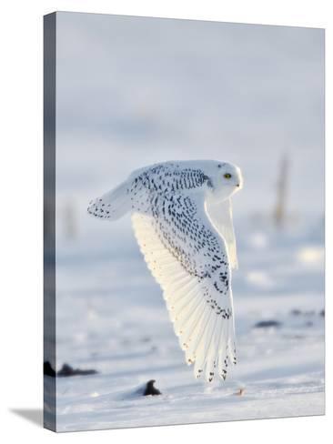 USA, Minnesota, Vermillion. Snowy Owl in Flight-Bernard Friel-Stretched Canvas Print