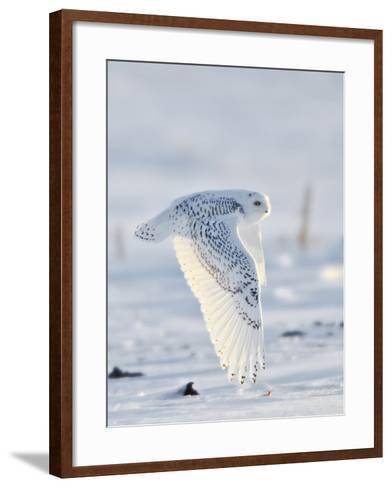 USA, Minnesota, Vermillion. Snowy Owl in Flight-Bernard Friel-Framed Art Print