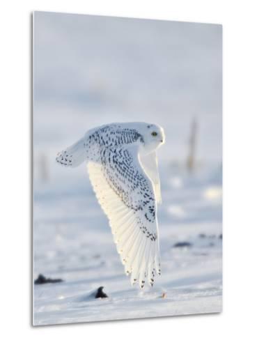 USA, Minnesota, Vermillion. Snowy Owl in Flight-Bernard Friel-Metal Print