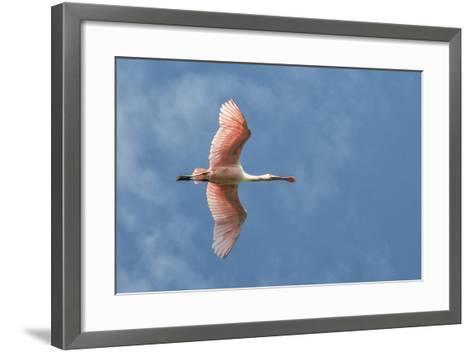 USA, Florida, Orlando, Roseate Spoonbill-Jim Engelbrecht-Framed Art Print