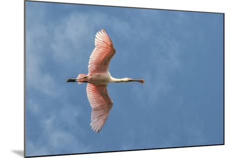 USA, Florida, Orlando, Roseate Spoonbill-Jim Engelbrecht-Mounted Photographic Print