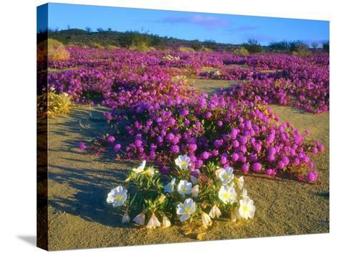 USA, Ca, Anza-Borrego Desert Sp. Sand Verbena and Dune Primrose-Jaynes Gallery-Stretched Canvas Print