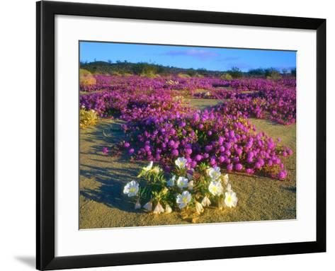 USA, Ca, Anza-Borrego Desert Sp. Sand Verbena and Dune Primrose-Jaynes Gallery-Framed Art Print