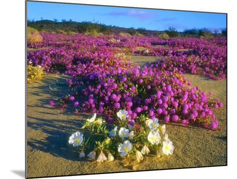 USA, Ca, Anza-Borrego Desert Sp. Sand Verbena and Dune Primrose-Jaynes Gallery-Mounted Photographic Print