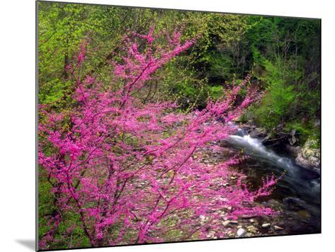 USA, Tennessee, Great Smoky Mountain Redbud Wildflowers-Jaynes Gallery-Mounted Photographic Print