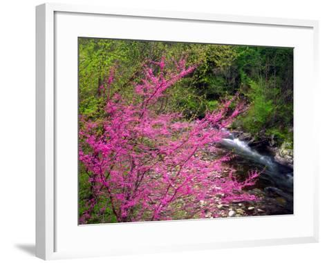 USA, Tennessee, Great Smoky Mountain Redbud Wildflowers-Jaynes Gallery-Framed Art Print